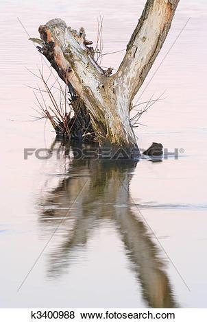 Pictures of Dead tree standing in water k3400988.
