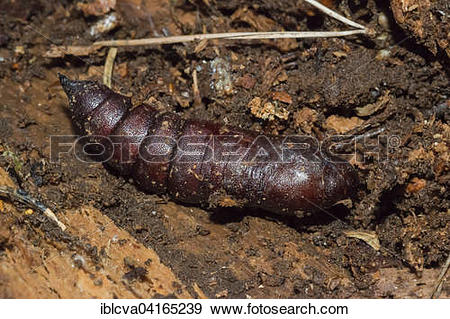 Stock Photograph of Privet Hawk Moth (Sphinx lingustri) chrysalis.