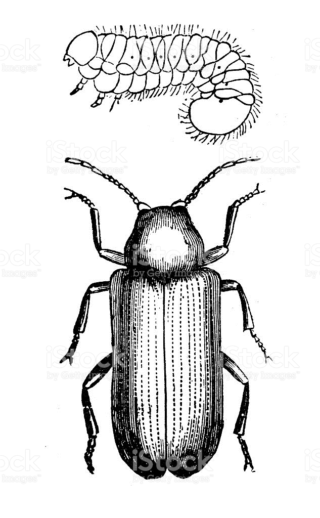 Antique Illustration Of Deathwatch Beetle And Larva stock vector.