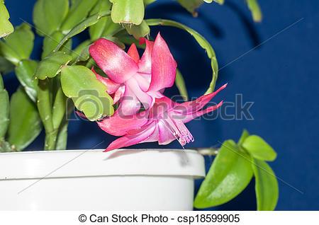 Stock Photography of Flower Decembrist or Schlumbergera. Genus.