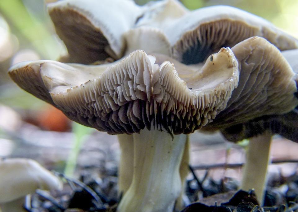 Free photo Deceptive Milkcap Mushroom Lactarius Deceptivus Peck.
