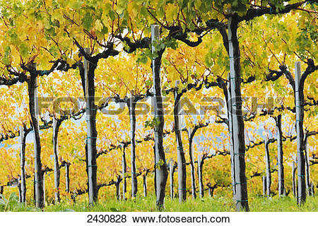 Pictures of Vines on slopes; San Gimignano, Tuscany, Italy 2430828.