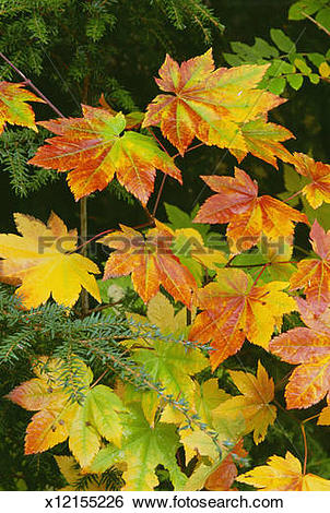 Stock Images of Autumn vine maple leaves, turning from green.