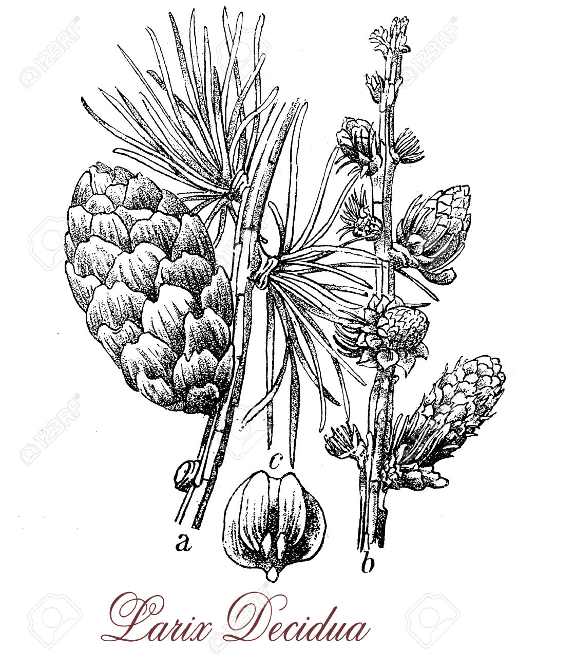 European Larch Is Deciduous Coniferous Tree With Needle.