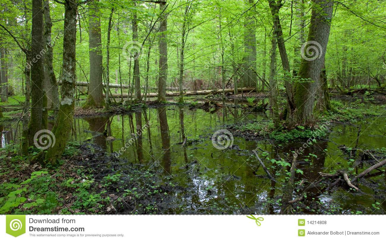 Spring Wet Deciduous Forest With Standing Water Royalty Free Stock.