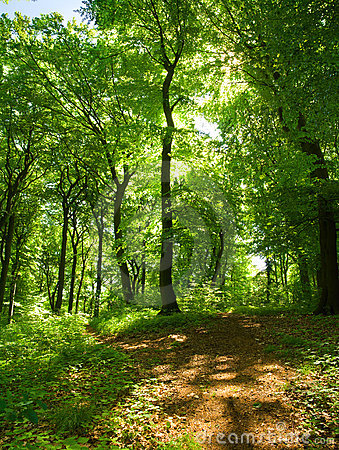 Deciduous Forest In Summer Royalty Free Stock Photos.