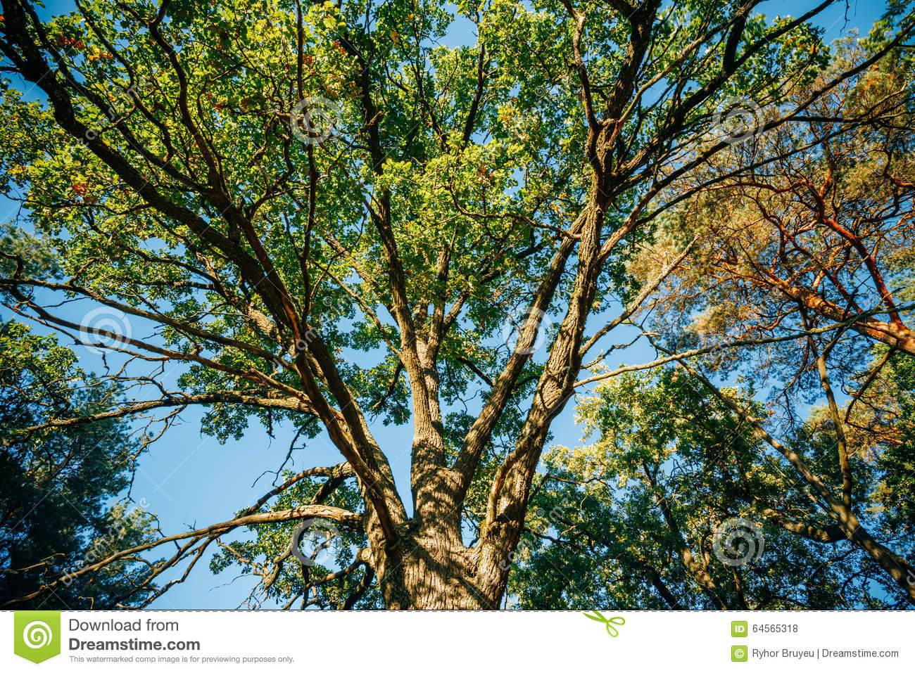 Canopy Of Tall Oak Tree. Sunny Deciduous Forest Stock Photo.