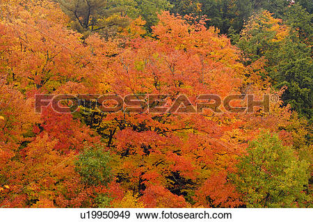 Stock Photograph of Temperate deciduous forest trees in peak.