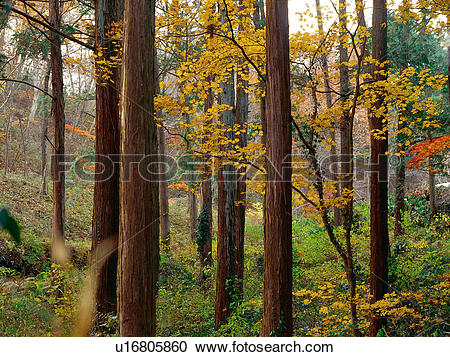 Stock Photography of tree, nature, autumn, fall, season, leaves.