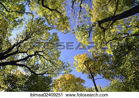 "Stock Photography of ""View into the canopy of a deciduous mixed."