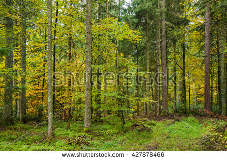 Evergreen Forest Stock Photos, Royalty.