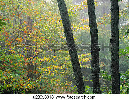Pictures of Hardwood Forest in fall colours, Mont Tremblant.