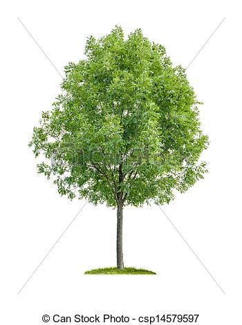Stock Photographs of isolated deciduous tree on a white background.