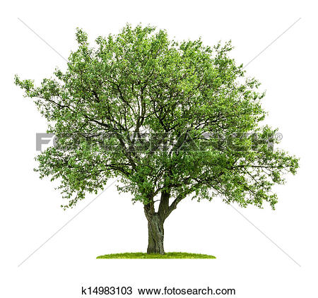 Stock Photo of isolated deciduous tree on a white background.