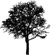Deciduous tree Illustrations and Clip Art. 980 deciduous tree.