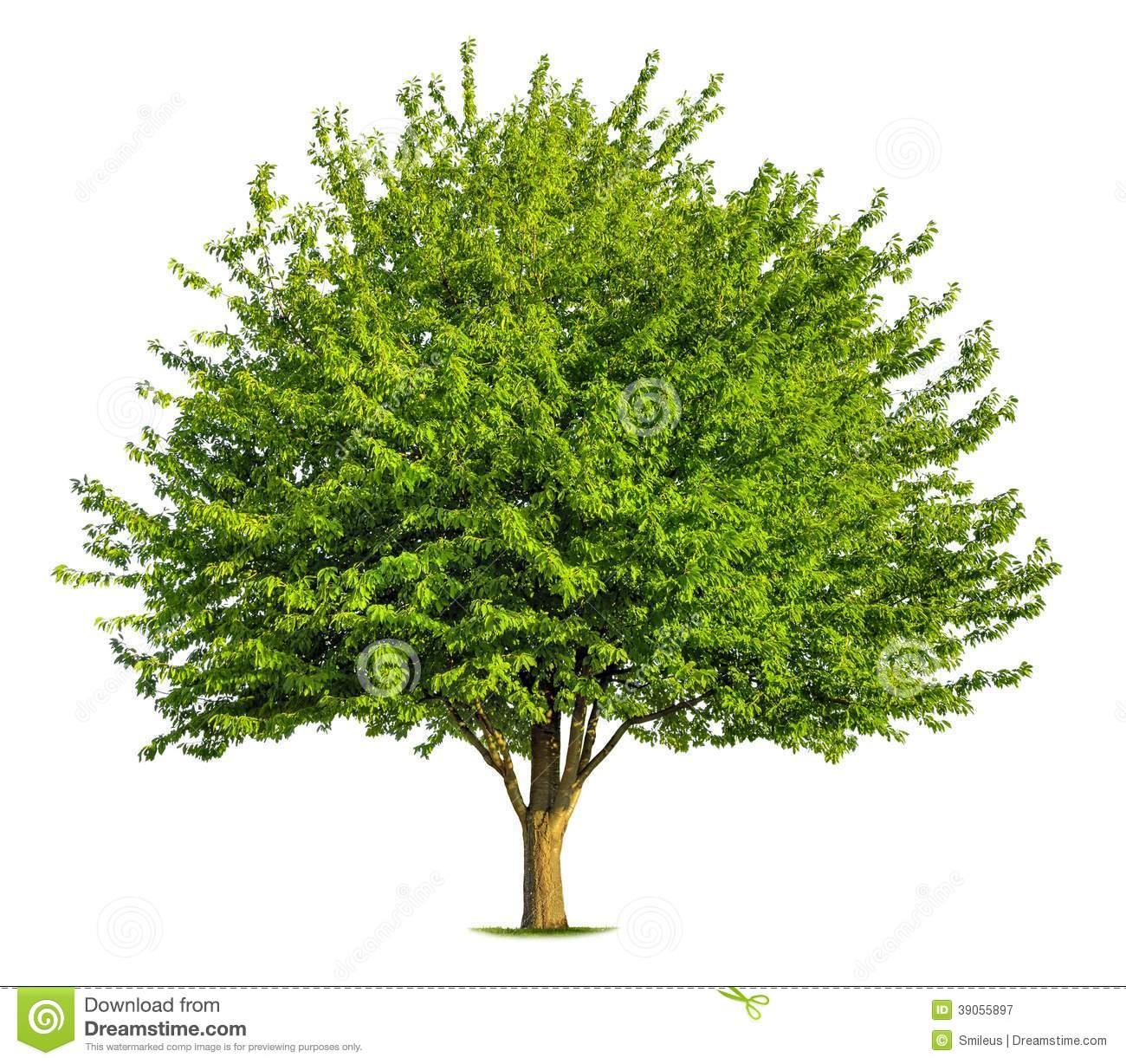 Deciduous Tree Stock Photography.