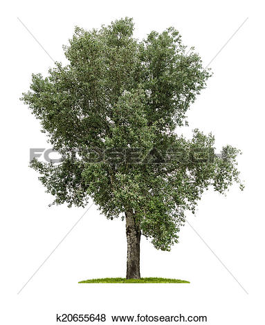 Stock Illustration of isolated deciduous tree on a white.