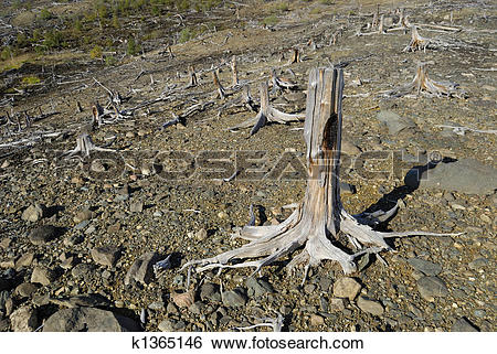 Stock Images of Stumps on declivity k1365146.