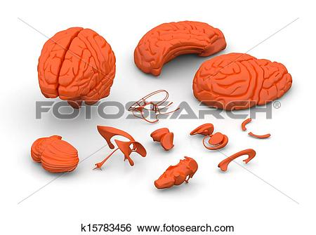Stock Illustration of Brain parts.