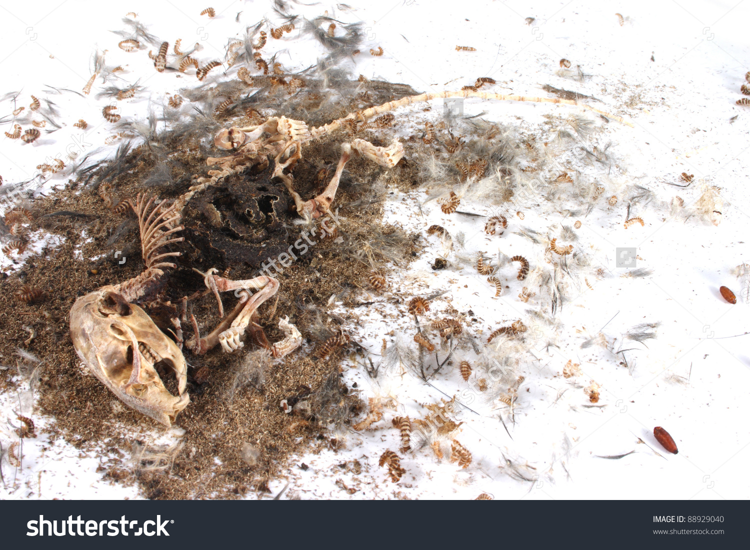Decomposing Life Cycle Grey Field Mouse Stock Photo 88929040.
