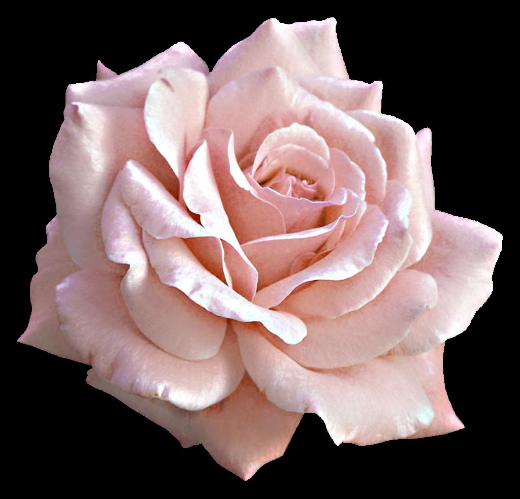 Large Light Pink Rose PNG Clipart.