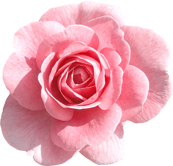Light Pink Rose PNG Clipart.