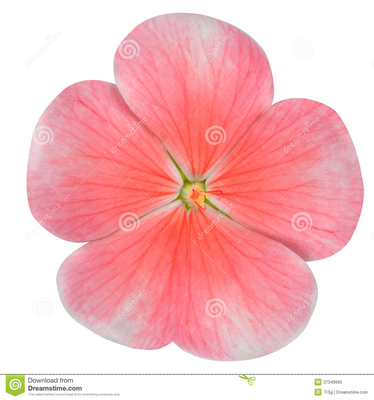 Pink Periwinkle Flower Isolated On White Royalty Free Stock Photo.