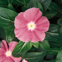 Bulk Impatiens Seeds Super Elfin XP Violet Starburst 500 Seeds.