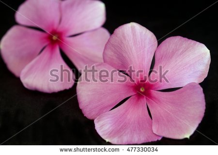 Pink Periwinkle Flower Red Center Madagascar Stock Photo 125050484.