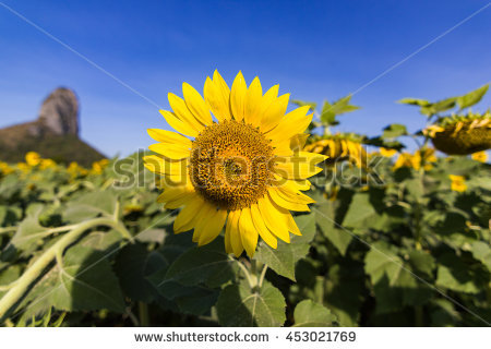 "sunflower Face"" Stock Photos, Royalty."