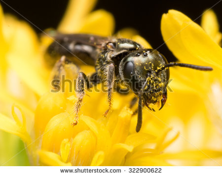 Sweat Bee Stock Photos, Royalty.