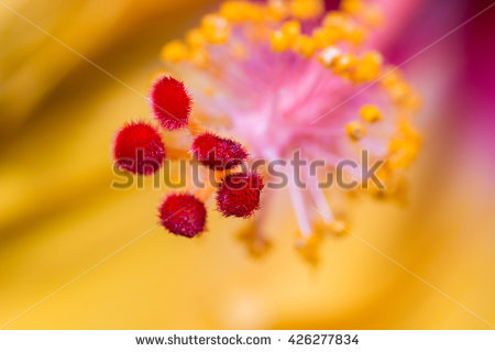 Closeup Hibiscus Orange Pollen Stock Photos, Royalty.