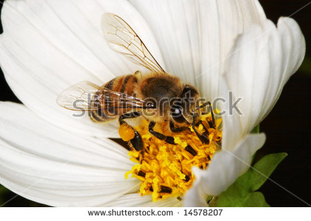 African Honey Bee Stock Photos, Royalty.