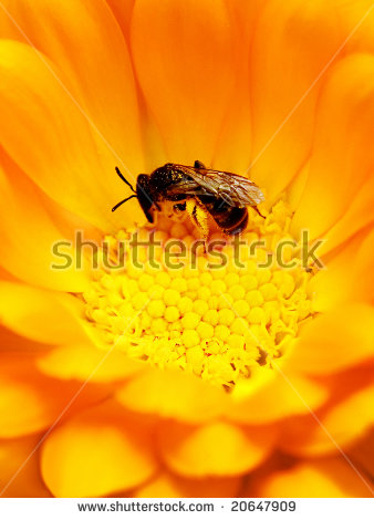 Pollinated Bee Stock Photos, Royalty.