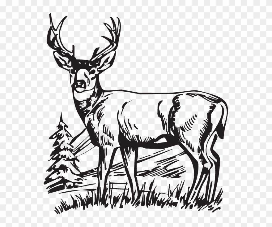 Download Hunting Deer Drawings Clipart White.