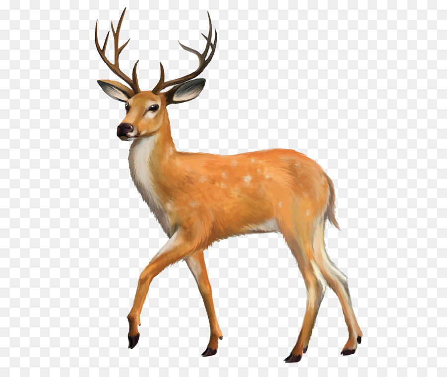 White Tailed Deer Red Clip Art Png Download 750 Natural Whitetail.