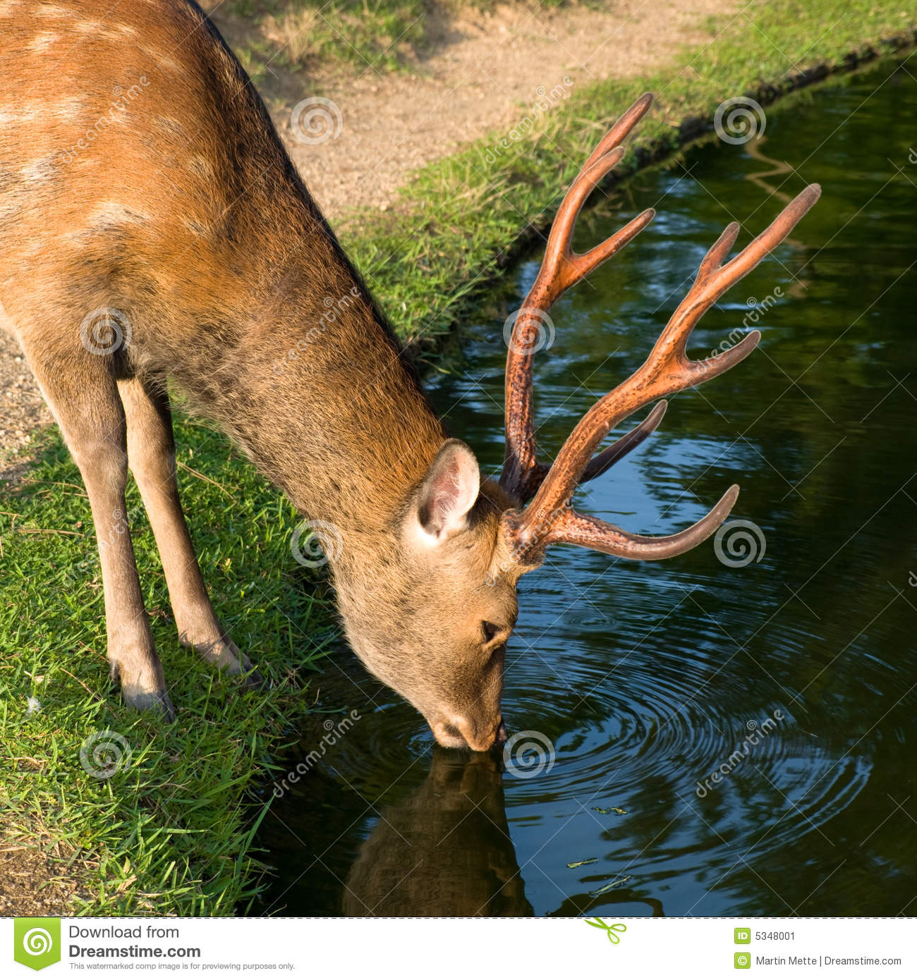 Deer Drinking Water Stock Photos, Images, & Pictures.