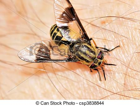 Stock Photo of Biting Deer Fly.