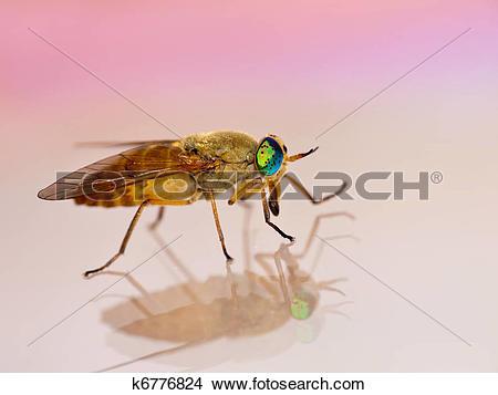 Stock Photo of Deer fly macro.