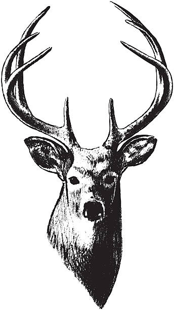 Best Deer Head Illustrations, Royalty.