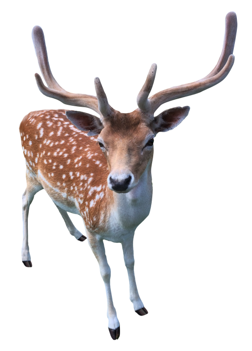 Deer PNG Transparent Image.