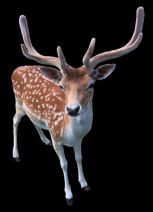 Deer PNG Transparent Image.