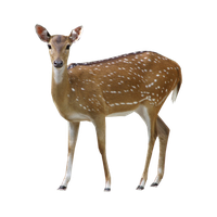 Download Deer Free PNG photo images and clipart.