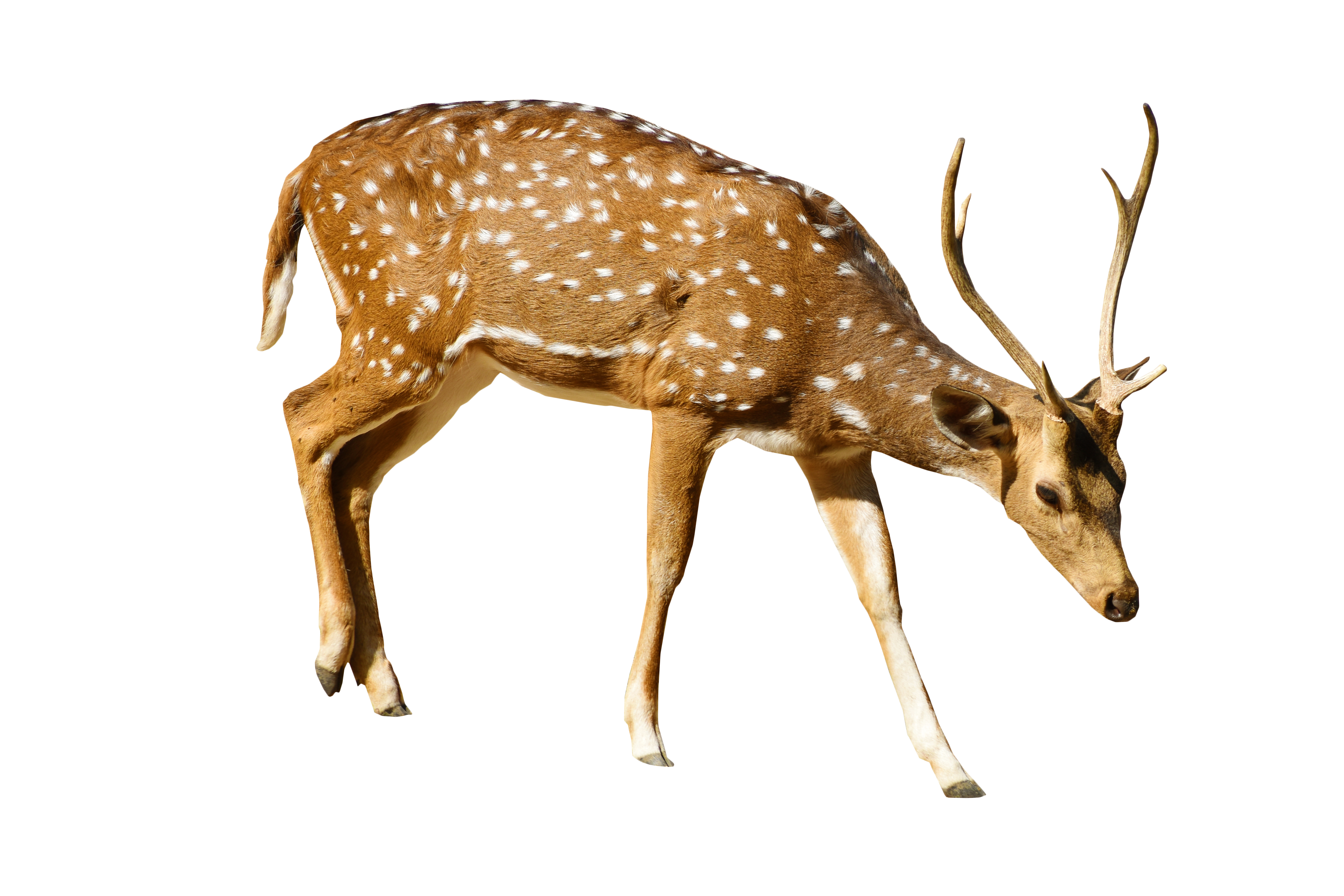 Brown Deer With White Spots Standing PNG Image.