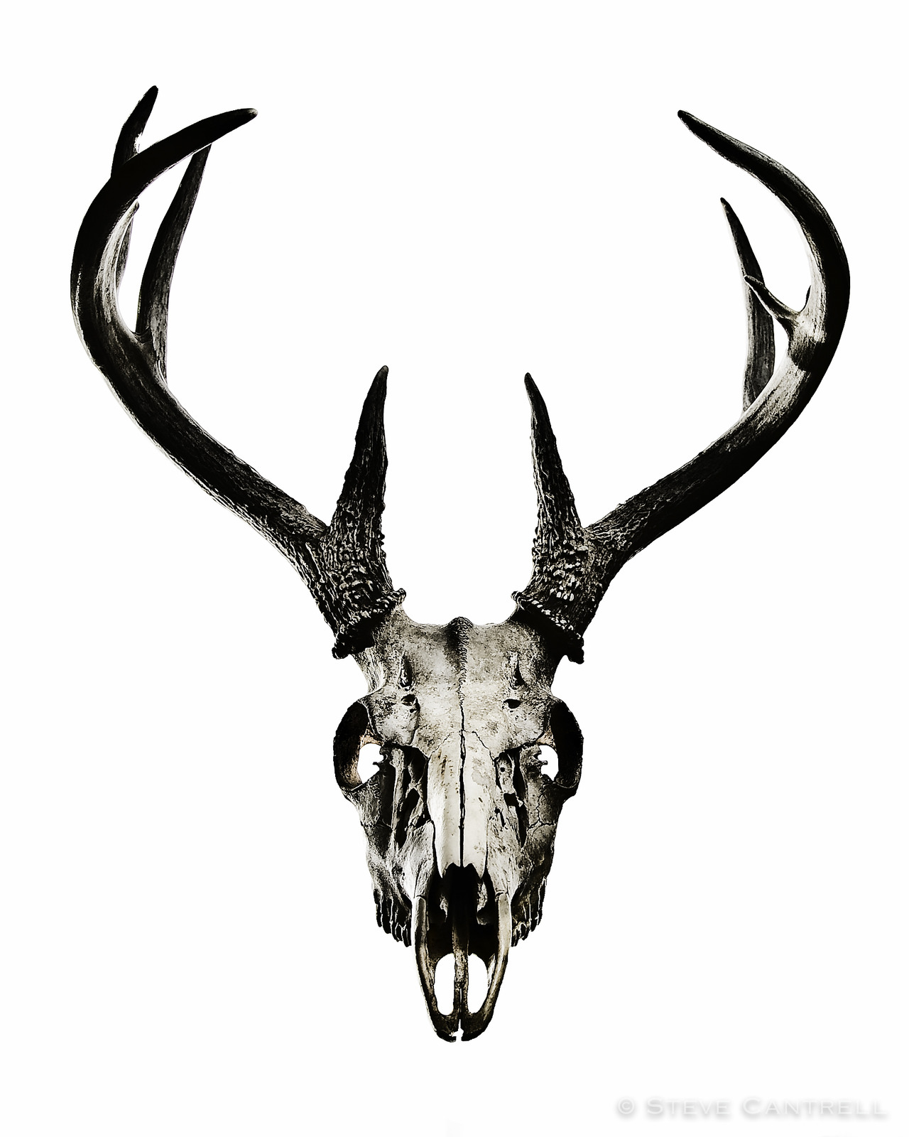 Deer Skull Png (112+ images in Collection) Page 1.