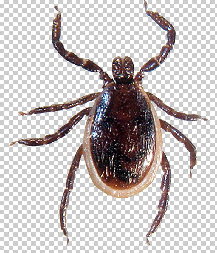 Lyme Disease Spirochete Tick.