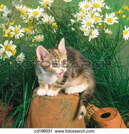 Stock Photography of cat, defenceless, day, Daisy, animal cd196031.