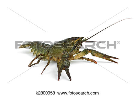 Pictures of Crawfish in defensive position k2800958.