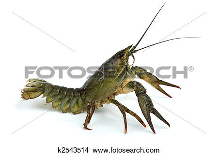 Stock Photo of Crawfish in defensive position k2543514.