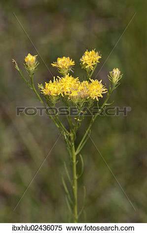 "Stock Image of ""Goldilocks Aster (Aster linosyris), rare."